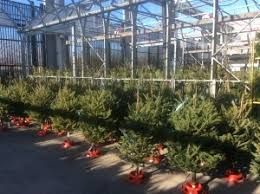 Christmas Tree Types Canada by Advent Botany 2015 Day1 Balsam Fir U2013 A Popular Christmas Tree In