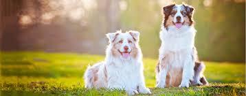 Small Non Shedding Dogs Australia by 100 Small Non Shedding Dogs Australia Australian Cattle Dog