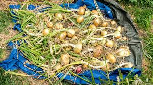 growing big bulb onions from seed to harvest curing storing