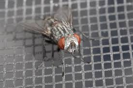 How To Control Flies In Your Home And Yard How To Get Rid Of Flies Outdoors Step By South Portland Backyard Latest Battleground In War Against Winter Clean Up Dog Waste From A Backyard 11 Steps The Chicken Chick Flystrike Chickens Causes Quickly And Naturally Whiteflies Identify Old Cluster Fly Facts Control Small Fly Infestation Uk How Get Rid Ants Yard Driveway Easiest Most Fun Way Fruit 25 Unique Outside Ideas On Pinterest Sliding Doors