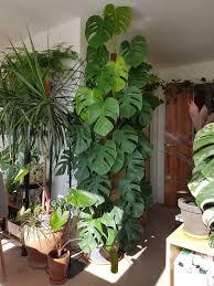 pin saigon recipe auf house plants zimmerpflanzen
