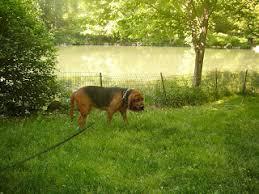 Do Rhodesian Ridgebacks Drool by Wimsey U0027s Blog Diary Of A Manhattan Bloodhound June 2008
