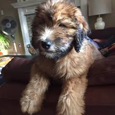 Do Wheaten Terrier Puppies Shed by Whoodle Dogs Discovered Com