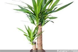 yucca palme pflege der palmlilie tipps zum überwintern