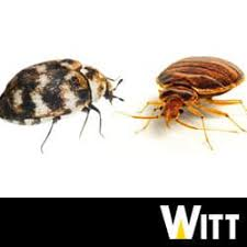 Bed Bugs And Carpet Beetles Causing Confusion In Pittsburgh