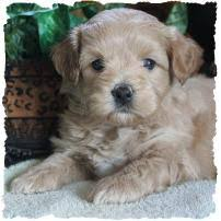 non shedding hypoallergenic hybrid dogs mixed breed puppies puppy for sale non shed breeders iowa