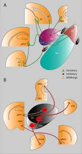 Bed Nucleus Of The Stria Terminalis by Central Nucleus Of The Amygdala Wikipedia