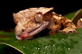 Crested Gecko Shedding Behavior by Crested Gecko Correlophus Ciliatus