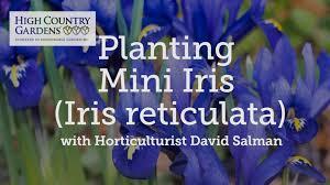iris reticulata bulbs harmony iris reticulata specie iris