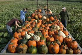 Pumpkin Patch Illinois Chicago by Pumpkin Shortage Looming Crop Experts Say Chicago Tribune