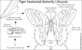 Tiger Swallowtail Butterfly Coloring Page