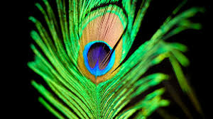 Desktop Peacock Feather Wall Dowload