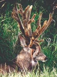 Whitetail Deer Shedding Velvet by What Causes Nontypical Antler Growth In Elk And Deer Ask The