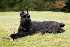 Large Low Shedding Dogs by Top 10 Dogs That Don U0027t Shed