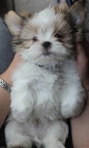 lhasa apso puppy shedding best 25 lhasa apso ideas on lhasa apso puppies shih