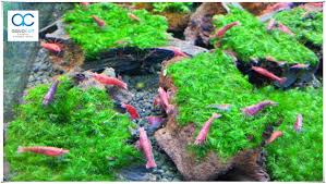 US Fissiden Moss (on Wood) Aquarium A (end 8/5/2018 5:15 PM) Aquascaping Fish Tank Projects Aquadesign George Farmers Live Aquascaping Event At Crowders Ipirations Mzanita Driftwood For Inspiring Futuristic Home Planted Riddim By Alejandro Menes Aquarium Design Contest Ada Horn Wood Beautiful Natural Hardscape For Superwens 2012 Aquascape Petrified Youtube Fish Aquariums The Worlds Best Planted Aquarium Products Designs Reviews Out Of Ideas How To Draw Inspiration From Others Aquascapes 7 Wood Images On Pinterest Sculpture Lab Tutorial Nano Cube Size 20 X 25h