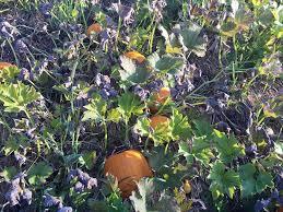 Northeast Iowa Pumpkin Patches by Berry Patch Farm Nevada Ia