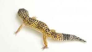 Do Leopard Geckos Shed by Why Leopard Geckos Turn Gray Animals Mom Me