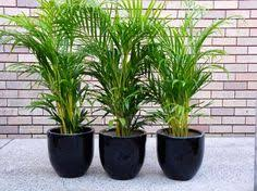 golden palm in pots how to pot up palm plants palm palm plants and plants