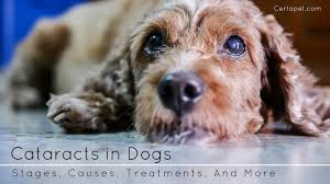 Cataracts in Dogs Stages Causes Treatments And More