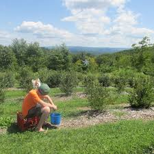 Chesterfield Berry Farm Pumpkin Patch 2015 picking blueberries whispering pines farm