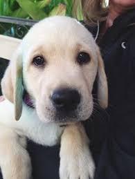 golden retriever vs labrador retriever dog breeds comparison