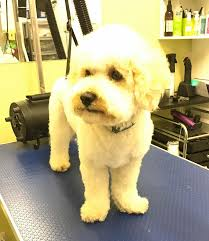 Do Jackie Bichon Shed by Grooming Gorgeous Blackburn Aberdeen Home Facebook
