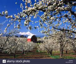 USA, Oregon, Hood River Valley, Pear Orchard In Bloom Framing Red ... Herb Apple Gruyere Scones Now Forager The Best Picking Near Atlanta In Map Form Tennessee Seerville Barn Orchard Winesap Apples 18 Bushel Red Orchards Mt Hood Stock Image 24641381 Orchard Front Mount Photo 27690034 Shutterstock Winery Elkhorn Wi Barnquilt Appleorchard Mapping Georgias In Time For Fall Splendor Experience Autumn At Edwards West