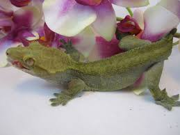 Crested Gecko Shedding Signs by 87 Best Crested Gecko Images On Pinterest Crested Gecko Geckos