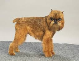 Hypoallergenic Non Shedding Small Dog Breeds by The Brussels Griffon 17 Lovely Small Dog Breeds That Don U0027t Shed