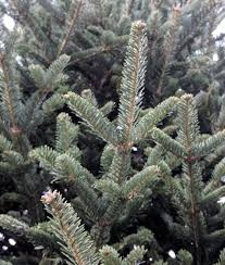 Types Of Christmas Trees To Plant by Tagawa U0027s Five Steps For The Best Christmas Trees Ever