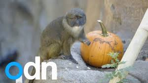 Brookfield Zoo Halloween Parade by Cute Animals Play With Pumpkins At San Diego Zoo Youtube