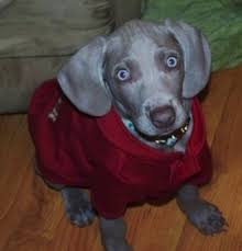 Do Long Haired Weimaraners Shed by Weimaraner Dog Breed Information And Pictures