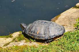 Snapping Turtle Shell Shedding by Encouraging Red Eared Slidesr To Bask