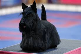 Quiet Small Non Shedding Dog Breeds by Small Dogs That Don U0027t Shed American Kennel Club