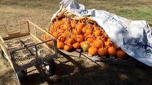 Toms Pumpkin Farm by Pumpkins Meant For Charity Stolen From Local Farm Krem Com