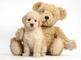 Cute Non Hypoallergenic Dogs by Teddy Bear Puppy Breeds
