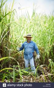 Cuban Cuba Cardenas Open Air Sugar Cane Grass In The Museum Farm Plantation
