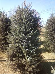 What Kind Of Christmas Tree To Buy by Type Of Christmas Trees Christmas Lights Decoration