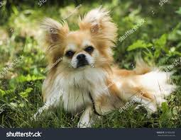 Non Shedding Hypoallergenic Small Dogs by Longhair Small Dog White Brown Color Stock Photo 391826338