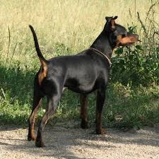 Do Miniature Doberman Pinschers Shed by Pinscher Miniature Spockthedog Com
