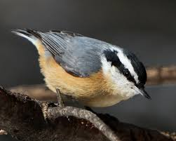 Cute Red-breasted Nuthatch | Winter Birds Of Wisconsin | Pinterest ... Wild Birds Unlimited Common Backyard Bird Nest Idenfication Sounds Articles Old Farmers Almanac Whibreasted Nuthatch Sitta Carolinensis Birds Certhioidea Best 25 Birds Ideas On Pinterest Pretty Blue A Brown Headed Cowbird At Thicksons Woods Debunk 12 Myths About Feeding Cute Rbreasted Nuthatch Winter Of Wisconsin Species Infographic Poster By Diana Sudyka The Worlds Photos And Sviceberry Flickr Hive Mind Grow These Native Plants So Your Can Feast Audubon What I Find In My Ontario Canada Youtube