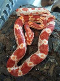 Corn Snake Shedding Time by Baby Corn Snake Amel Female Basingstoke Hampshire Pets4homes