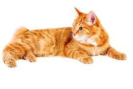 bobtail cat bobtail cat history s greatest