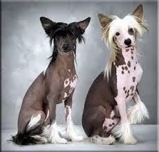 Cute Non Shedding Dog Breeds by Non Shedding Dog Breeds Low Shedding Dogs Information