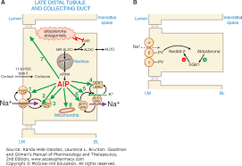 High Ceiling Diuretics Can Cause by Regulation Of Renal Function And Vascular Volume Goodman And