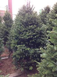 Mona Shores Tallest Singing Christmas Tree by Christmas Tree Delivery Part 24 Natalie Paramore Christmas Tree