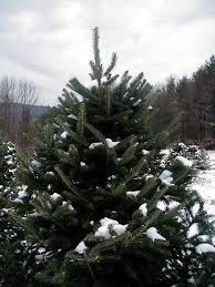 Christmas Trees Types by Our Trees U2014 Allen Tree Farm