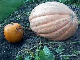 Uc Irvine Pumpkin Patch by How Big Is Oxford U0027s Biggest Pumpkin