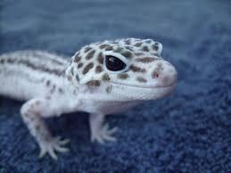 Do Leopard Geckos Shed by 100 Do Leopard Geckos Shed Skin Leopard Gecko The Life Of